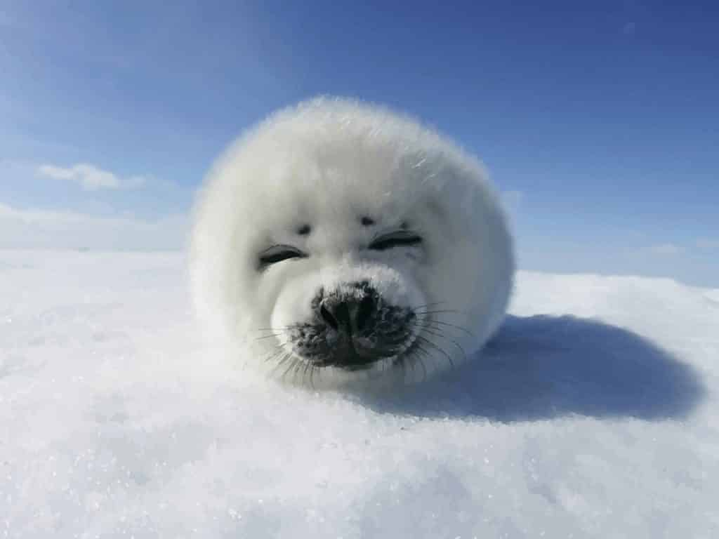 freevector-funny-harp-seal