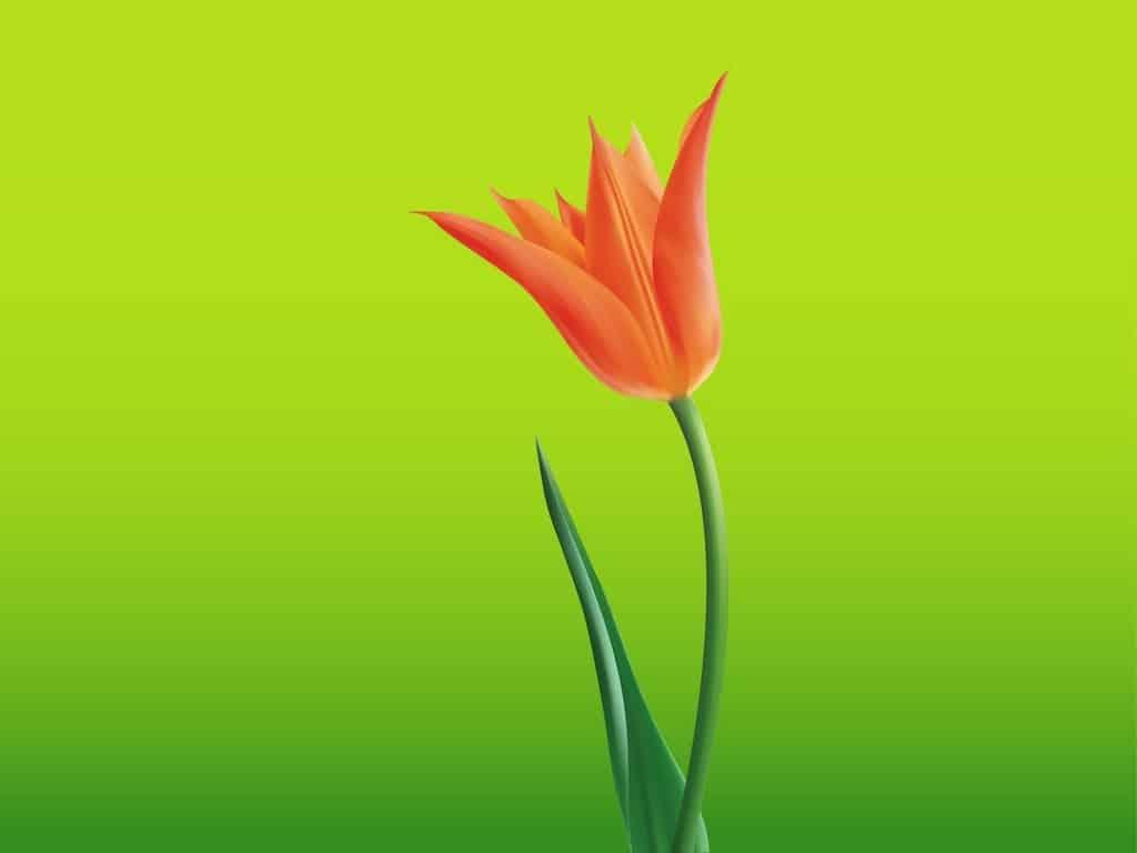 Open-Tulip-Flower